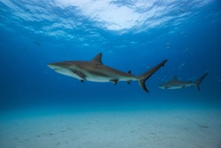 Caribbean reef shark in Tiger Beach, Bahamas.