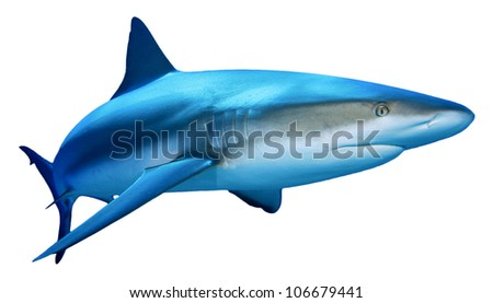 Caribbean Reef Shark isolated on white background - stock photo