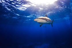 Caribbean reef shark swimming under the surface with sunbeams and a sunburst in Bahamas