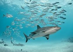 Caribbean reef shark swims with school of jacks