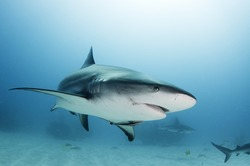 Caribbean reef shark with fishing hook scar