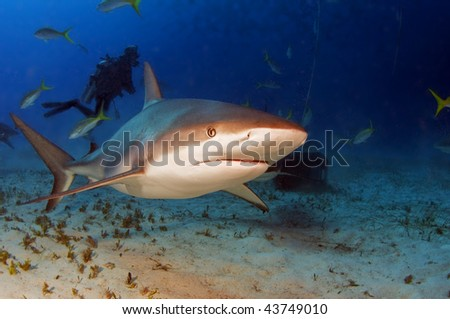 Caribbean reef sharks are incredibly fast when riled up.