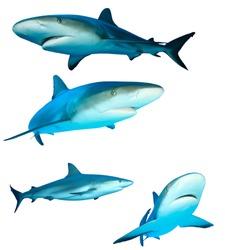 Caribbean Reef Sharks (Carcharhinus perezii) isolated on white background