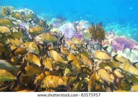 Caribbean sea reef yellow Grunt fish school  Haemulon flavolineatum in Mayan Riviera Mexico