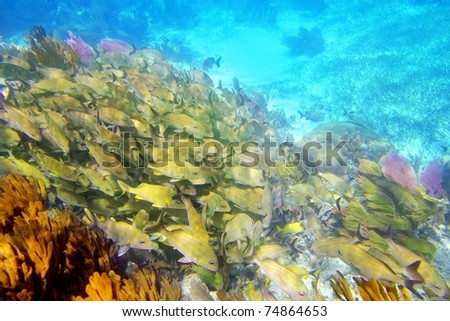 Caribbean sea reef yellow Grunt fish school Mayan Riviera mexico Haemulon flavolineatum [Photo Illustration]
