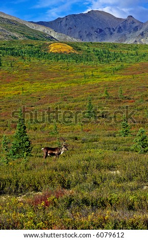 Caribou at the tundra landscape