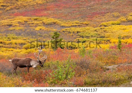 Caribou Bull in Fall Tundra