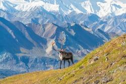 Caribou deer in front of mount Denali, Denali NP, Alaska