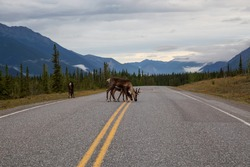 Caribou family walking on a scenic road during a cloudy morning sunrise. Taken in Northern Canadian Rockies, British Columbia, Canada.