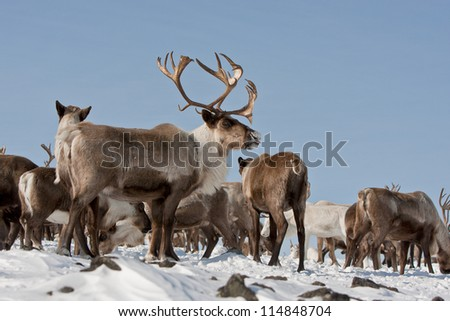 Caribou group on pastures in the mountains of Kamchatka in Russia - stock photo