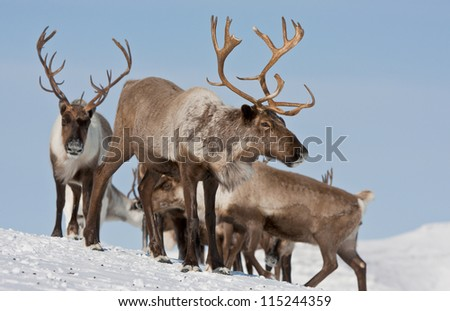 Caribou group on pastures in the mountains of Kamchatka in Russia