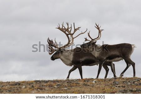 Caribou meandering in Denali National Park and Preserve, Alaska, USA.  Сток-фото ©