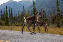 Caribou peeing on a scenic road during a cloudy morning sunrise. Taken in Northern Canadian Rockies, British Columbia, Canada.