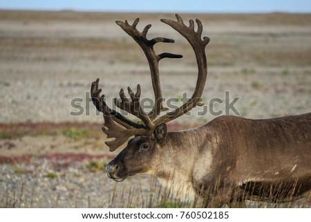 caribou velvet alaska #760502185