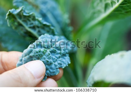 Caring for Growing Italian Kale