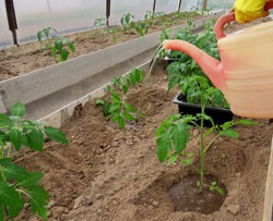 Caring for plants. Planting tomatoes in a greenhouse.