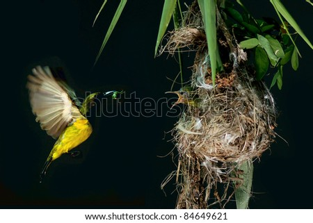 Caring of sun bird fly to feeds its chick.