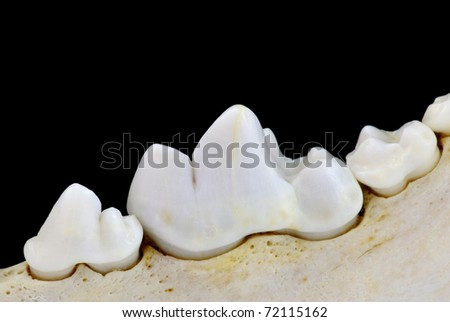 Carnassial tooth - stock photo