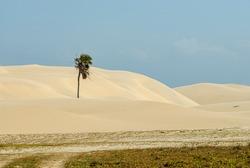 Carnauba tree in the dunes of the lencois maranhaeses national park, Barreirinhas, Maranhao state, Brazil on October 20, 2007.