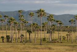 Carnauba trees, tipical in Brazil's northeast region