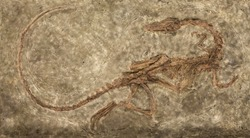 Carnivores dinosaur Zelovitis. Triassic period. USA, NEW Mexico