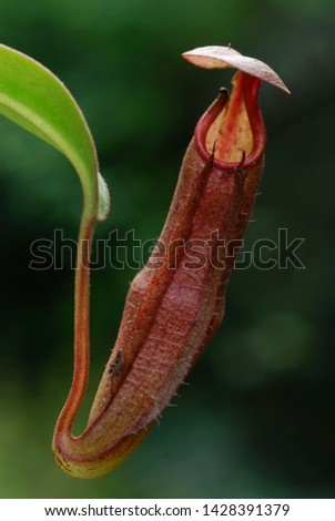 Carnivorous leaves of Pitcher Plant