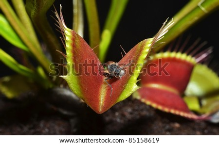 carnivorous plant with dead insect corpse
