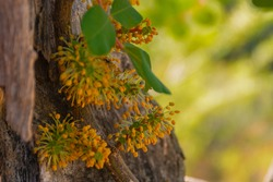 Carob flowers growing next to the trunk of a carob tree, in autumn, in the field. Selective focus
