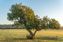 Carob tree (Ceratonia siliqua) in a field on the island of Mallorca at sunrise. Unfocused background. Balearic Islands, Spain