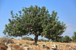 Carob tree, in Latin Ceratonia siliqua against blue sky