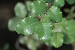 Carob tree leaves - Latin name - Ceratonia siliqua