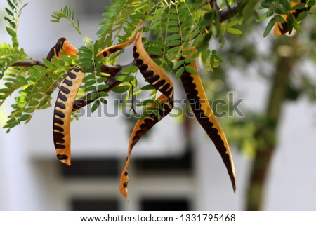 Carob tree or Ceratonia siliqua or Saint Johns bread or Locust bean or Locust tree or Carob bush flowering evergreen tree with multiple partially ripe edible pods on single branch