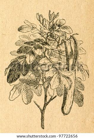 Carob tree twig with flowers and pods - old illustration by unknown artist from Botanika Szkolna na Klasy Nizsze, author Jozef Rostafinski, published by W.L. Anczyc, Krakow and Warsaw, 1911 - stock photo