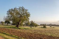 Carob trees(Ceratonia siliqua) in a field on the island of Mallorca at sunrise. Balearic Islands, Spain
