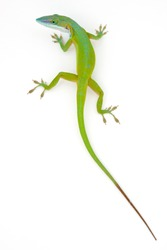 Carolina anole (Anolis carolinensis) on white wall (green anole, American anole, red-throated anole)
