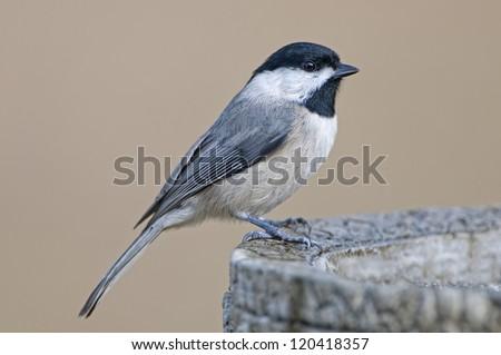 Carolina Chickadee at Birdbath
