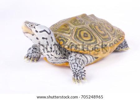 Carolina diamondback terrapin, Malaclemys terrapin centrata - Shutterstock ID 705248965