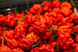 Carolina Reaper - The World's Hottest Chilli. Extremely hot chilli pepper growing.