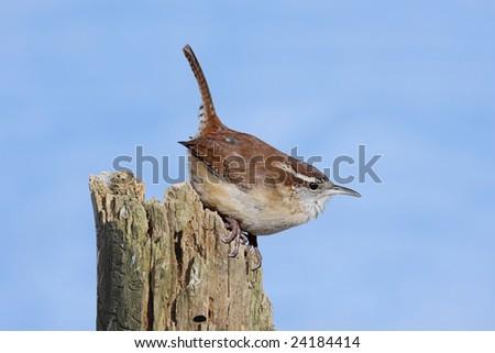 Carolina Wren (Thryothorus ludovicianus) on a tree stump with a blue sky background - stock photo