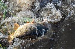 Carp fish during spawning in water