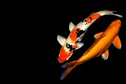 Carp fish feng shui makes gold money.