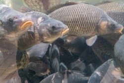 Carp floating in a large aquarium in the store