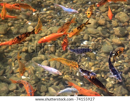 Carp koi ornamental fish for the pond stock photo for Ornamental fish garden ponds