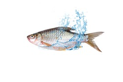 Carp, separated from the background, faithful, freshwater clipping part