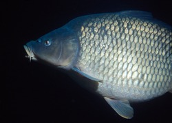 carp swimming against a black background