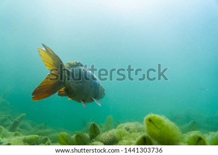 carp under water, under water photography in a beautiful lake in austria, Amazing under water fish image  #1441303736