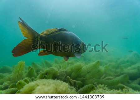 carp under water, under water photography in a beautiful lake in austria, Amazing under water fish image  #1441303739