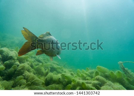 carp under water, under water photography in a beautiful lake in austria, Amazing under water fish image  #1441303742