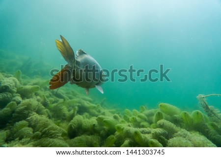 carp under water, under water photography in a beautiful lake in austria, Amazing under water fish image  #1441303745