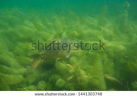 carp under water, under water photography in a beautiful lake in austria, Amazing under water fish image  #1441303748
